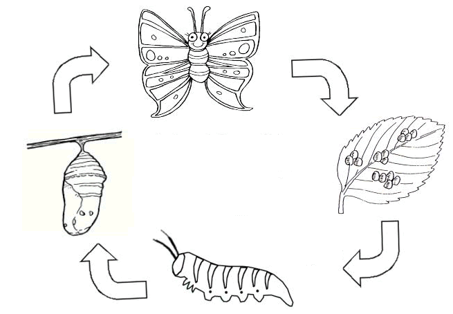 ButterflyLifeCycle
